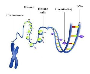 "A widely used illustration that shows chemical tags (purple diamonds) and the ``tails"" of histone proteins (purple triangles) marking DNA to determine which genes will be transcribed."